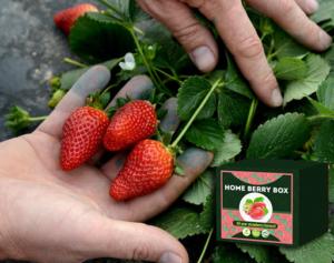 Home Berry Box eper termesztési készlet, hogyan kell használni, hogyan működik