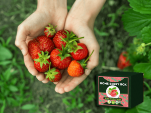 Home Berry Box set de cultivare a căpșunilor, cum să utilizați, cum funcționează,